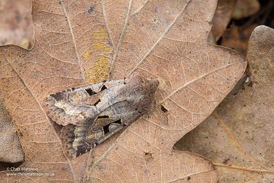 Hebrew Character moth, Orthosia gothica, family Noctuidae. Catbrook, Monmouthshire, March