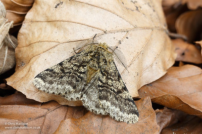 Brindled Beauty moth, Lycia hirtaria, Monmouthshire.  Family Geometridae. Focus-stacked image.