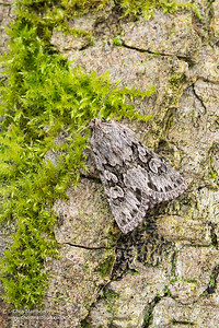 Early Grey moth, Xylocampa areola, family Noctuidae. Catbrook, Monmouthshire, March. Focus stacked image.