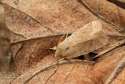 Small Quaker moth, Orthosia cruda, family Noctuidae. Catbrook, Monmouthshire, March