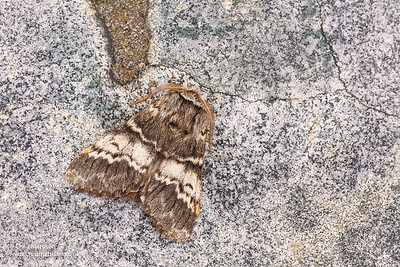 Lunar Marbled Brown, Drymonia ruficornis, Monmouthshire, April. Focus-stacked image.