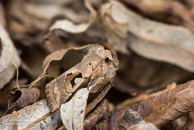 Hebrew Character moth, Orthosia gothica,  family Noctuidae.  Camouflaged among willow litter. Catbrook, Monmouthshire, March. Focus stacked image