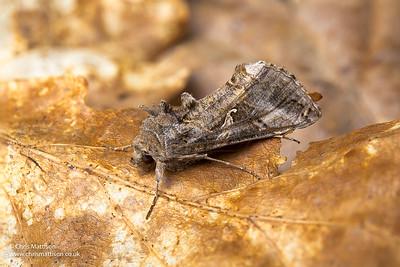 Silver-y moth, Autographa gamma, Clough Wood, Derbyshire, April