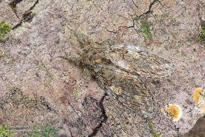 Great Prominent moth, Peridea anceps, Monmouthshire, April. Family Notodontidae.