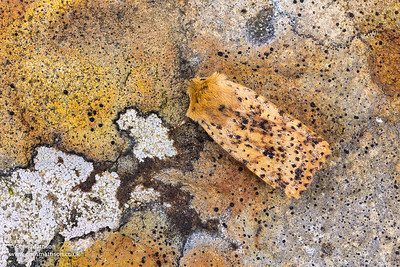 Dotted Chesnut Moth, Conistra rubiginea, Catbrook, Monmouthshire, March