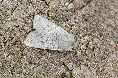 Powdered Quaker, Orthosia gracilis, Catbrook, Monmouthshire. Focus-stacked image.