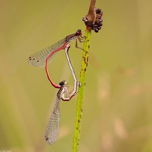 Small Red Damselflies