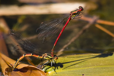 How to Make Large Red Damselflies