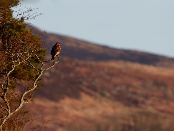 Buzzard looking out over its territory