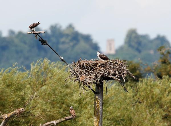 Osprey with pike