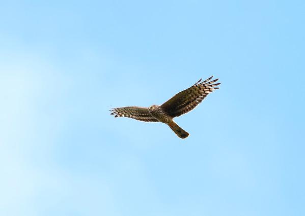 Female or ringtail hen harrier