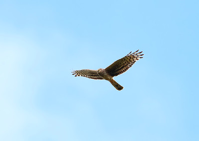 Female or ringtail hen harrier