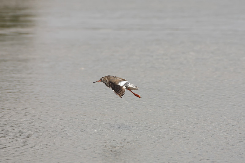 redshank flying over a body of water