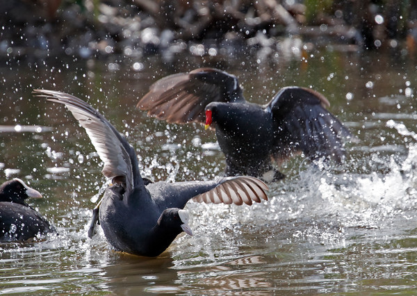Coot & moorhen disagreement