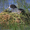 coot sitting on its nest
