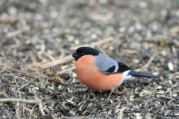 male bullfinch eating seeds