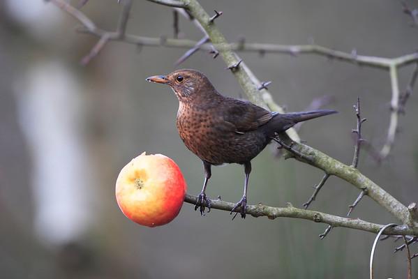 female blackbird in a hawthorn bush