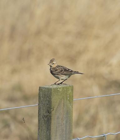 skylark perched on a fence post