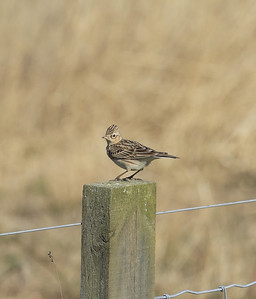 skylark perched on a fence post