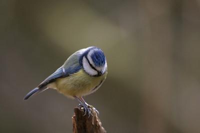 close up of a blue tit