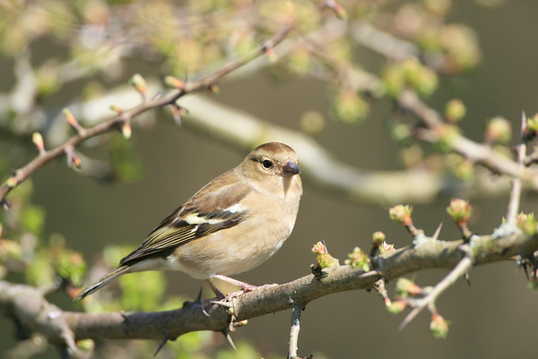 close up of a female chaffinch