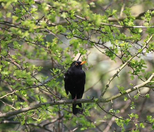 male blackbird perched in a bush
