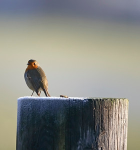 robin perched on a frosty fence post.