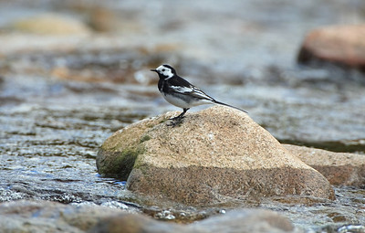 pied wagtail standing on rocks near water