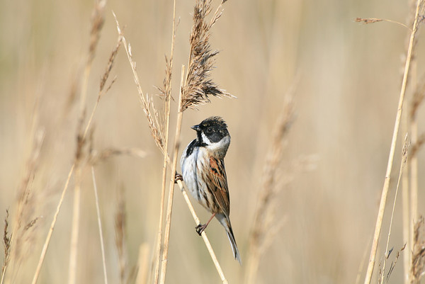 male reed bunting balancing on reeds.