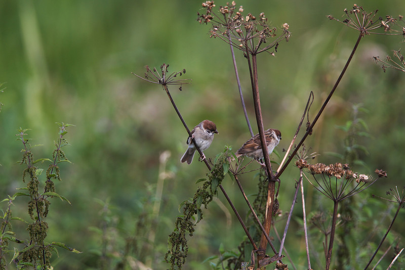tree sparrows, belvide