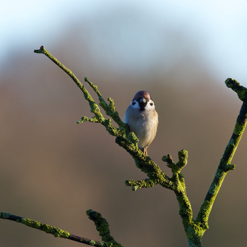 tree sparrow 2013-12-17 at 10-44-23