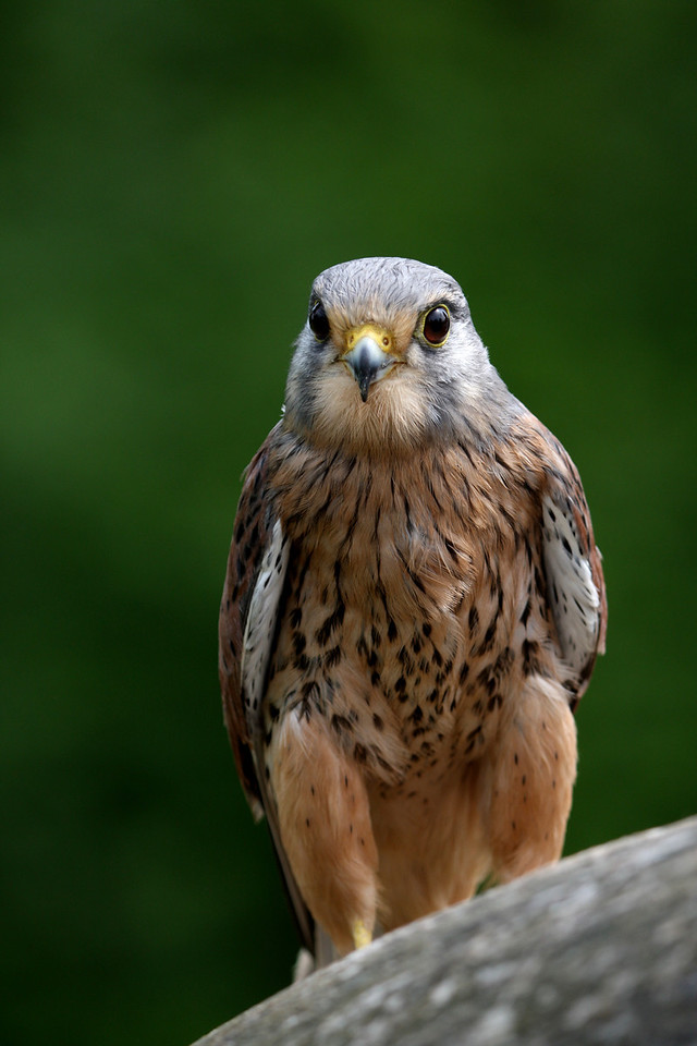 kestrel, tame