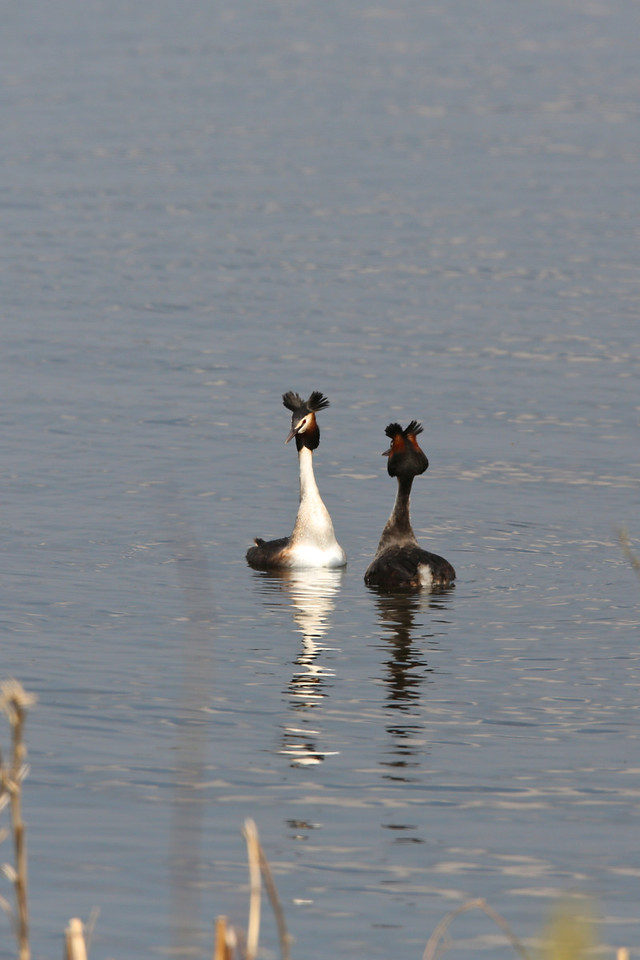 courting grebes<br />  2013-04-20 at 12-32-29