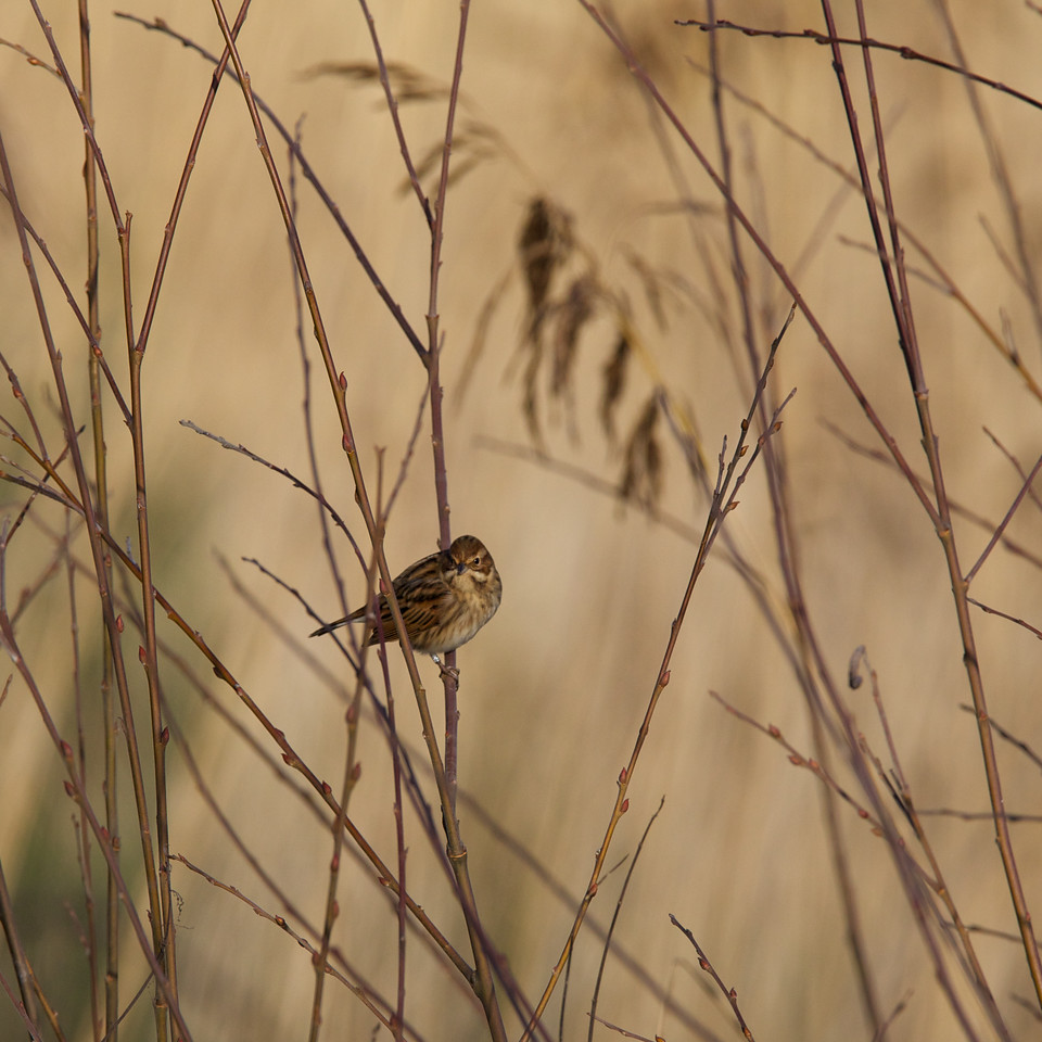 female reed warbler