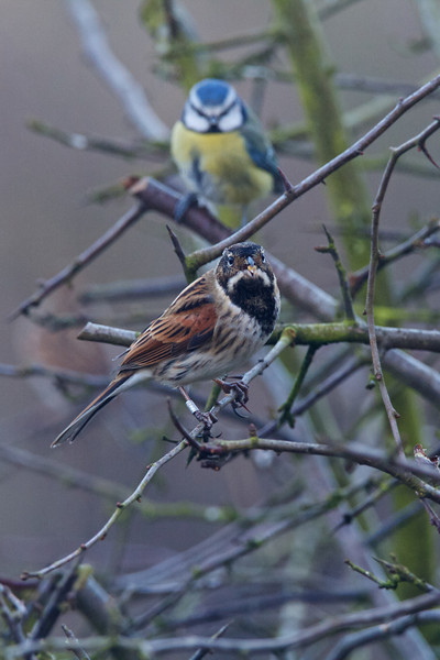 reed bunting, belvide 2013-01-11 at 13-55-41