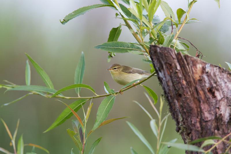 willow warbler, belvide