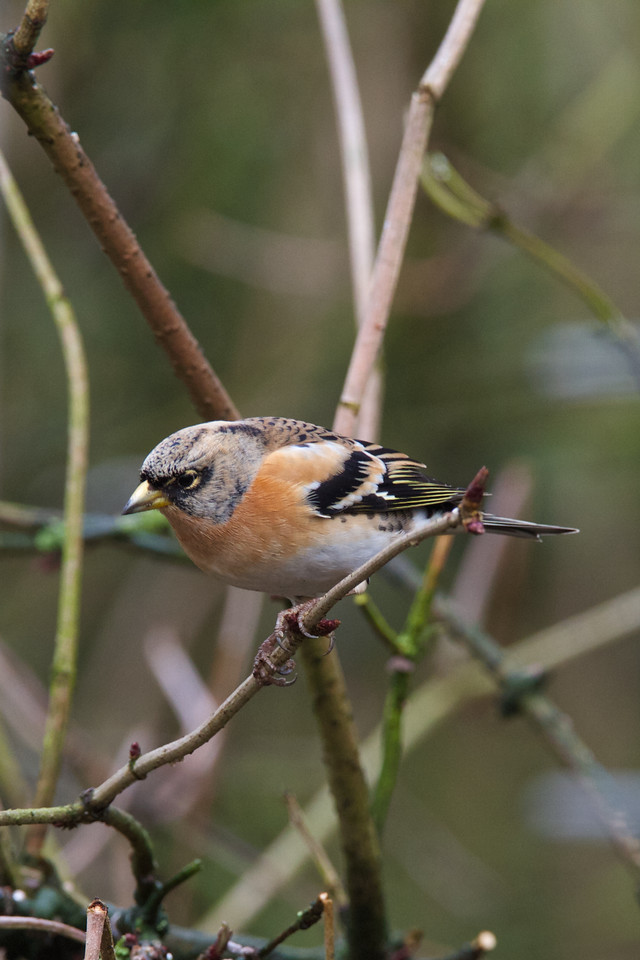 brambling, belvide 2013-01-11 at 12-51-19