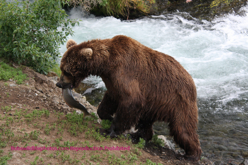 Brown Bear climing bank with Salmon for a quick snack. Brooks Falls, Katmi Park, Alaska. 7-08