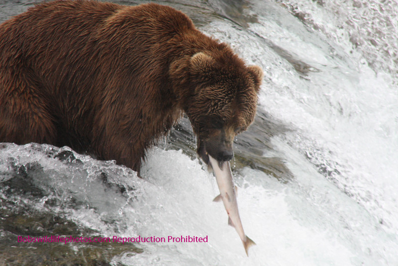 This one won't get away, Brown bear, Brooks Falls, Katmi Park, Alaska