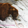 Large Brown bear on top of Brooks Falls. One got away. Brooks falls Katmi park Alaska 7-08