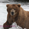 Large Brown bear, Brooks falls, Katmi Park, Alaska. 7-08