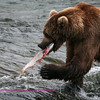 Brown bear taking Salmon to shore to eat.