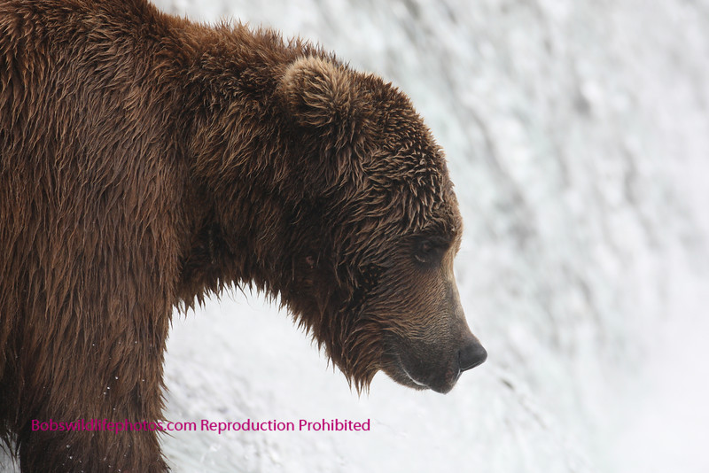 Brown bear standing on top of brooks fallls, katmi park, alaska. 7-08