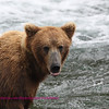 Brown Bear, Brooks falls, Katmi park, alaska, 7-08
