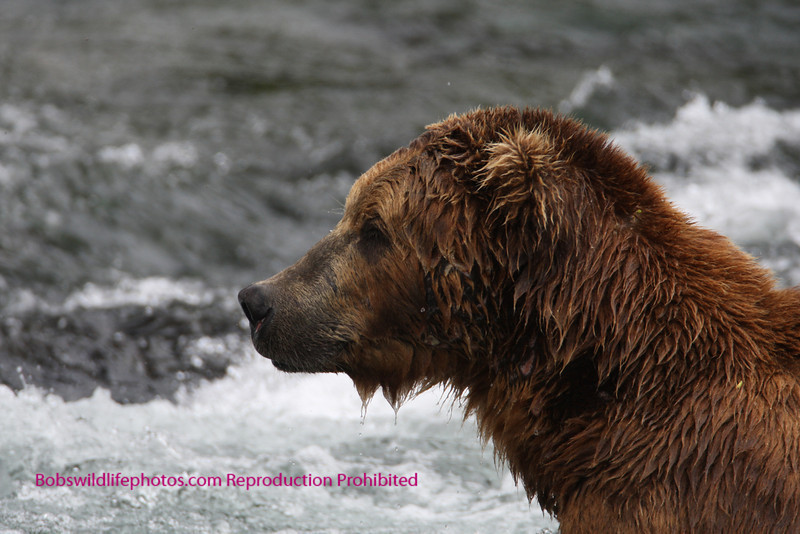 Brown bear looks for the best spot. Brooks Falls, Katmi Park, Alaska