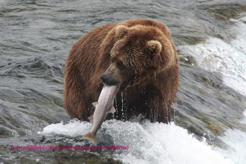 Where should I take it? Brooks Falls Katmi Park, Alaska