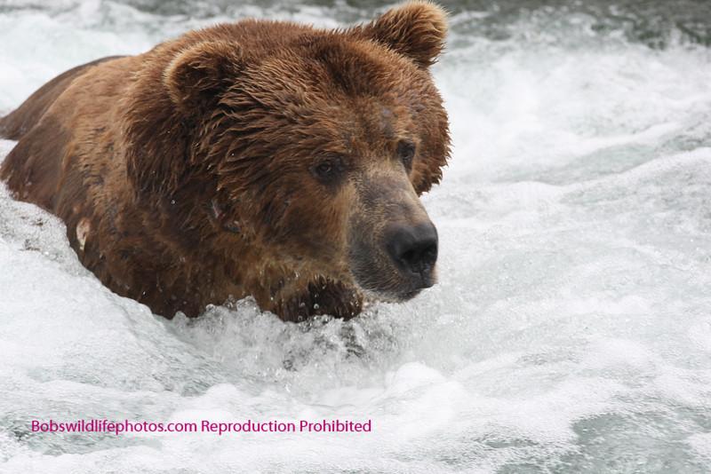 Brown bear fishing brooks falls, katami park, alaska. 7-08