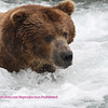 Brown bear fishing brooks falls, katami park, alaska. 7-08