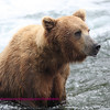 Brown bear, brooks falls, katmi park, alaska. 7-08