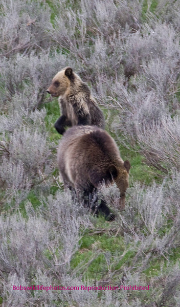 Cub with Mom in Hayden Valley yellowstone National Park.